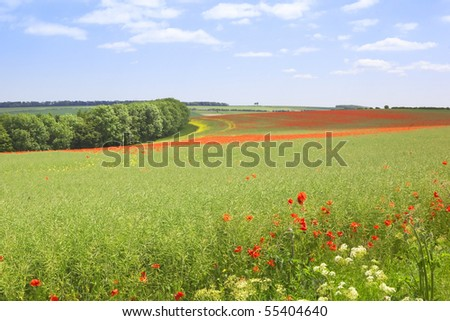 english landscape with field poppies papaver rhoeas flowering amongst rapeseed under a blue sky