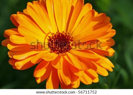 english marigold, flower - stock photo
