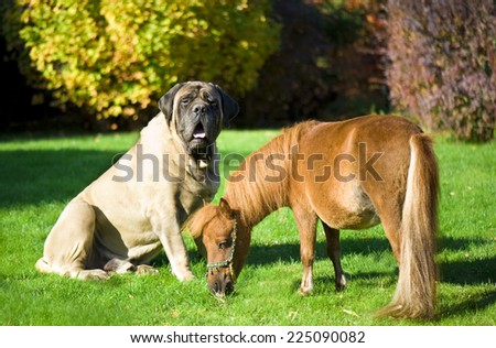 English Mastiff and minihors - stock photo