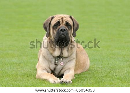 English Mastiff dog portrait in garden - stock photo