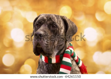 English Mastiff dog with christmas lights for background and  a scarf - stock photo