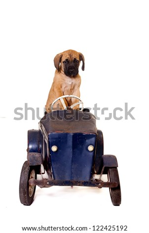 English Mastiff puppy in a vintage pedal car. Isolated on white background.