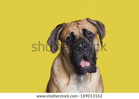 English Mastiff young dog sitting pretty for his picture.  - stock photo