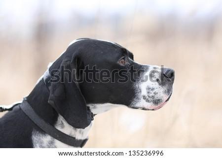 English Pointer hunting - stock photo