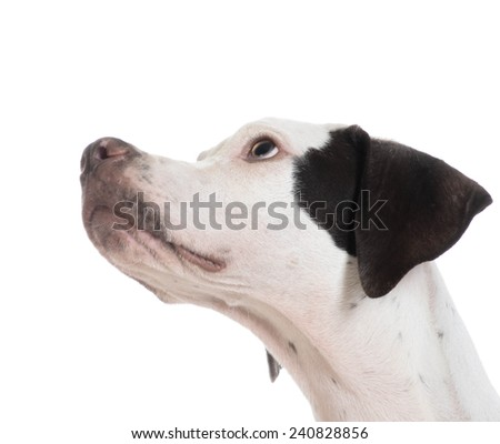 english pointer puppy looking away from viewer isolated on white background