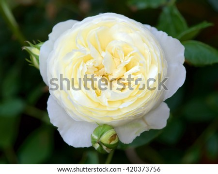 English rose from David Austin English Rose collection, Claire Austin. - stock photo