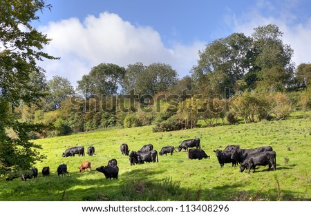 English rural scene with cows - stock photo