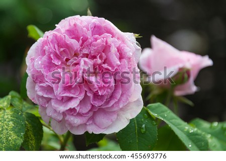 English Shrub Rose aka Rosa 'Ausbord' (Family Rosaceae) - stock photo