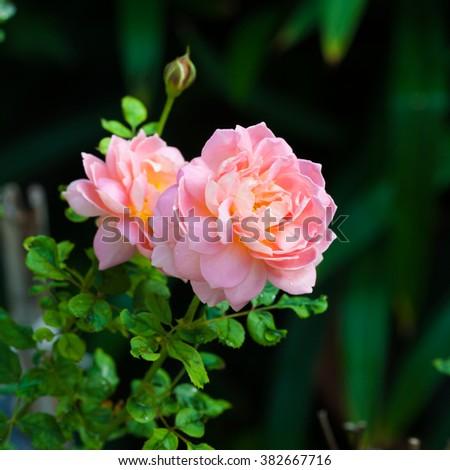 "English shrub rose variety ""Felicia"" - stock photo"