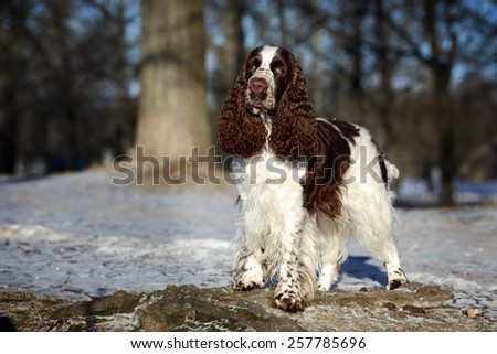 English Springer Spaniel dog standing on a rock in the park - stock photo