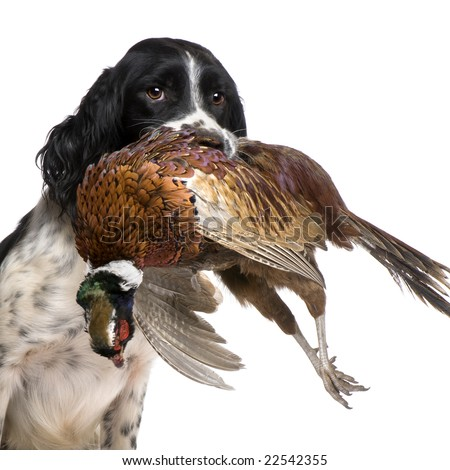 English Springer Spaniel  hunting (1 year) in front of a white background - stock photo