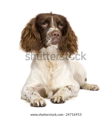 English Springer Spaniel (10 months) in front of a white background