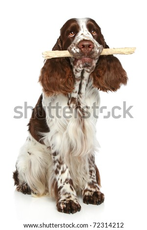English Springer Spaniel playing with a stick on a white background - stock photo