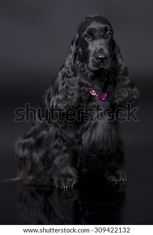 English springer spaniel puppy lying on a black  background - stock photo