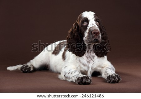 English springer spaniel puppy lying on a brown background - stock photo