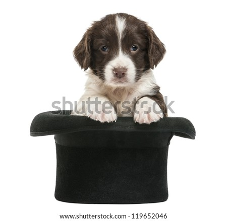 English Springer Spaniel, 5 weeks old, sitting in magician's hat, against white background - stock photo