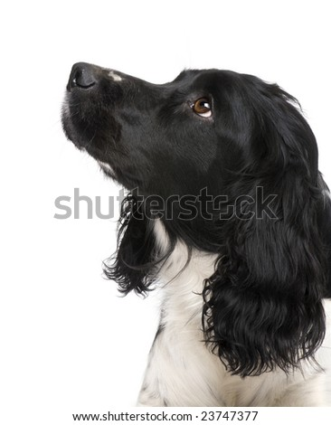 English Springer Spaniel (2 years) in front of a white background - stock photo