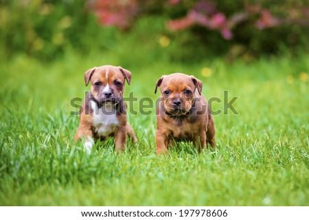 english staffordshire bull terrier puppies - stock photo