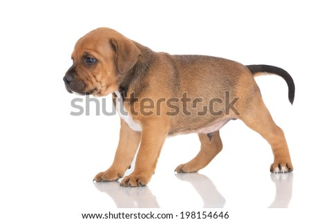 english staffordshire bull terrier puppy - stock photo