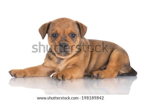 english staffordshire bull terrier puppy