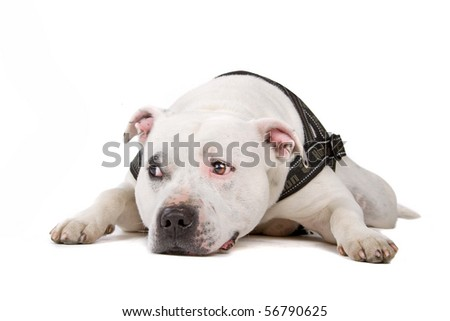 english staffordshire bull terrier (staffordshire, staffy, staffie, stafford) lying on the floor, isolated on a white background - stock photo