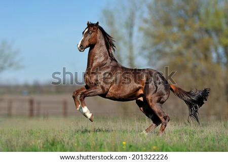 English thoroughbred horse jumping on the beautiful background of the field.  - stock photo
