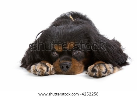 English Toy Spaniel laying down, his head in between his paws with a sad look