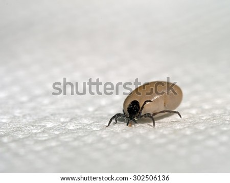 Engorged tick insect from my dog. Disease risk, parasite. - stock photo