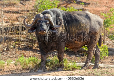Enormous old male Cape buffalo portrait, Kruger National Park, South Africa - stock photo