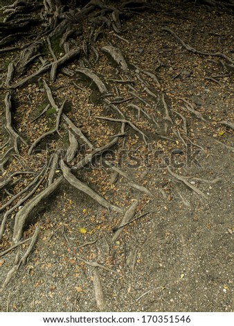 Entagled roots of myceugenia exsucca, tree that grows on swampy areas. Patagonia. Lacar lake coast.