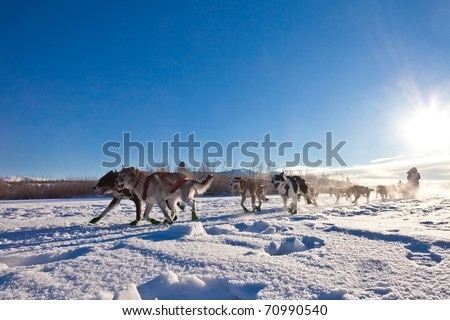 Enthusiastic team of dogs in a dog sledding race. - stock photo