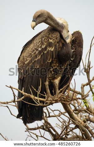 Entire vulture standing tall on top of a tree, vertical composition