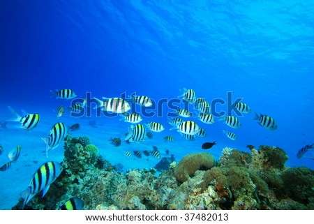 Environmental issue: A shoal of Scissortail Sergeants swims over dead coral killed by global warming - stock photo