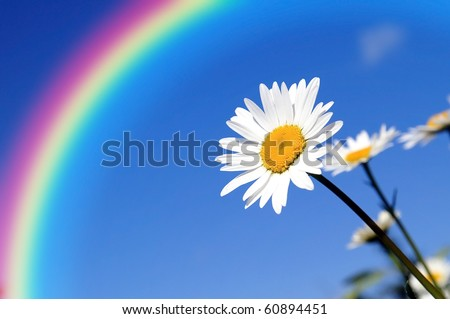 Environmental protection concept - a field of pretty delicate daisies on a blue sky background in a sunny summer day, stretching their petals out to the sun, protected by a rainbow form darkness - stock photo