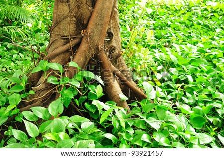 Epipremnum aureum on ground tree root - stock photo