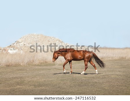 equestrian horse moving on the field  - stock photo