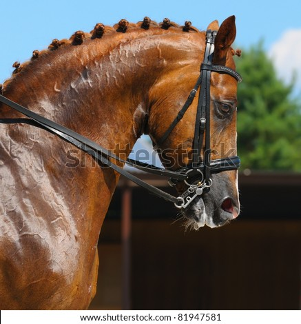 Equestrian sport - dressage / head of sorrel horse - stock photo