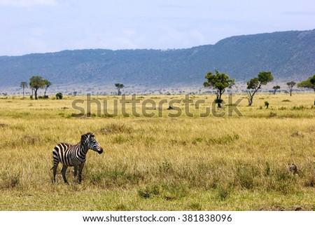 Equus quagga - Zebra standing in the savannah in Masai Mara National Park, Kenya - stock photo