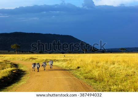 Equus quagga - Zebras walking over the road by sunset, in Masai Mara National Park, Kenya. - stock photo