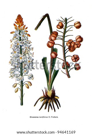 """Ereminus lactiflorus O. Fedtsch - an illustration from the book """"Species of flowers bulbes of the Soviet Union"""", Moscow, 1935 - stock photo"""