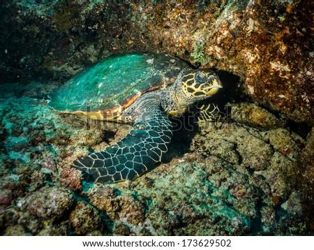 Eretmochelys imbricata (Hawksbill sea turtle) - stock photo