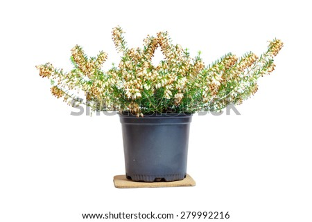 "Erica in the pot. Family Ericaceae. Common names ""heath"" and ""heather"".  Isolated object.  White background - stock photo"