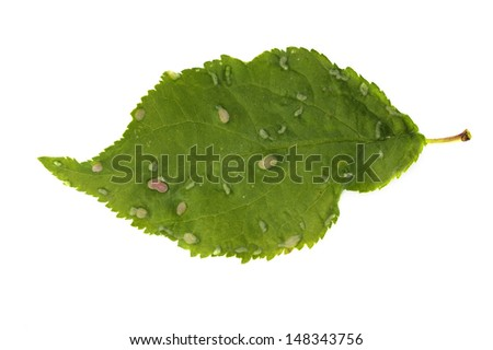 Eriophyes similis - plum pouch gall mite isolated on white - stock photo