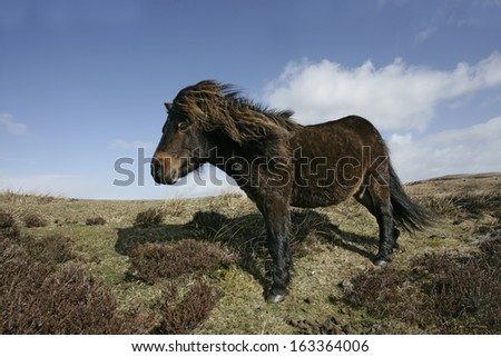Eriskay pony,  South Uist, Hebrides, Scotland