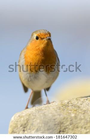Erithacus rubecula bird - stock photo