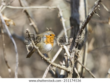 erithacus rubecula, robin perched on a branch