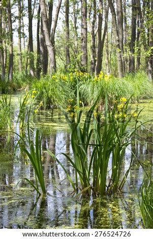 Erlenbruch, Carr. Swamp (or carr) in early springtime. A swamp is a wetland that is forested, covered by aquatic vegetation. Was seen in Brandenburg, Germany, in the Nature Park Nuthe-Nieplitz.