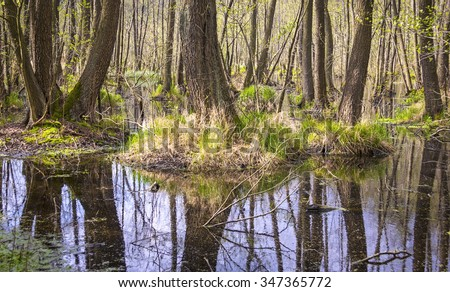 Erlenbruch, Carr. Swamp (or carr) in early springtime. A swamp is a wetland that is forested, covered by aquatic vegetation. Was seen in Brandenburg, Germany, in the Nature Park Nuthe-Nieplitz. - stock photo