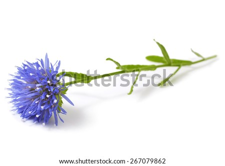 Eryngium. Blooming blue thistle isolated on white - stock photo