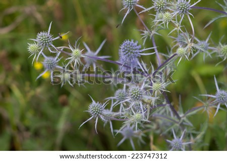 Eryngo flowers on a field closeup - stock photo